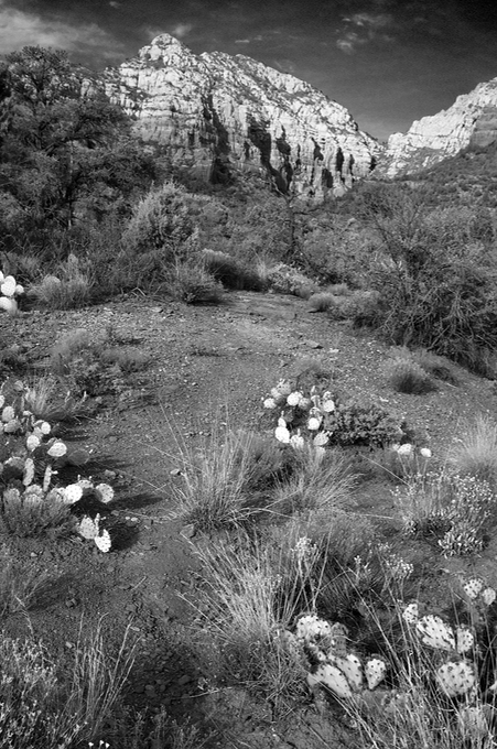 Cactus in black and white