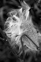 Milkweed in Black & White